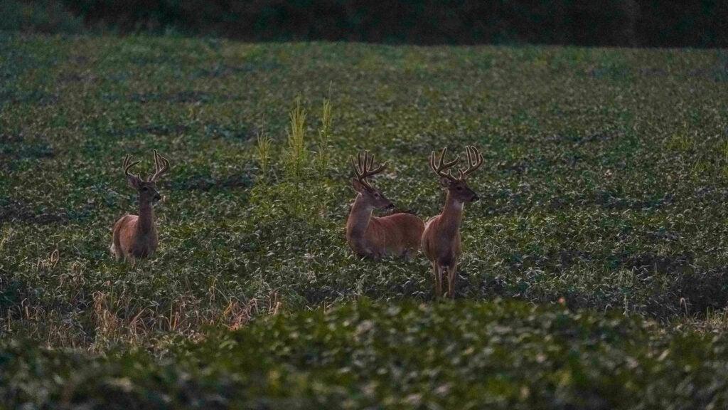 Hunt velvet bucks in the afternoon.