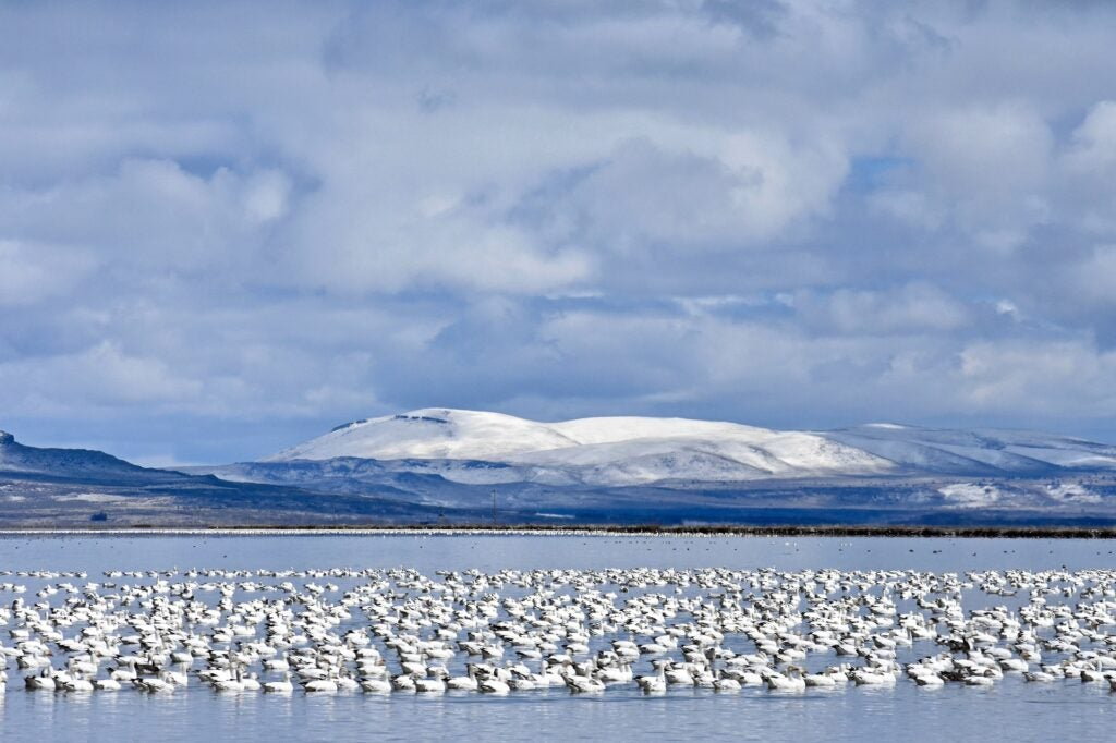 Snow geese are not eating themselves into extinction.