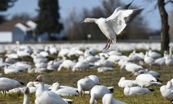 Everything We Thought We Knew About Snow Geese Was Wrong