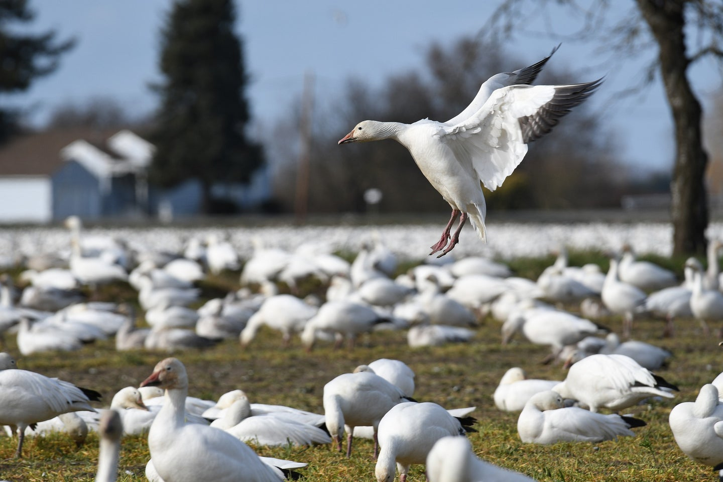 Fewere snow geese are wintering in Texas.
