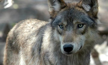 For the First Time in 80 Years, Gray Wolf Pups Have Been Spotted in Colorado