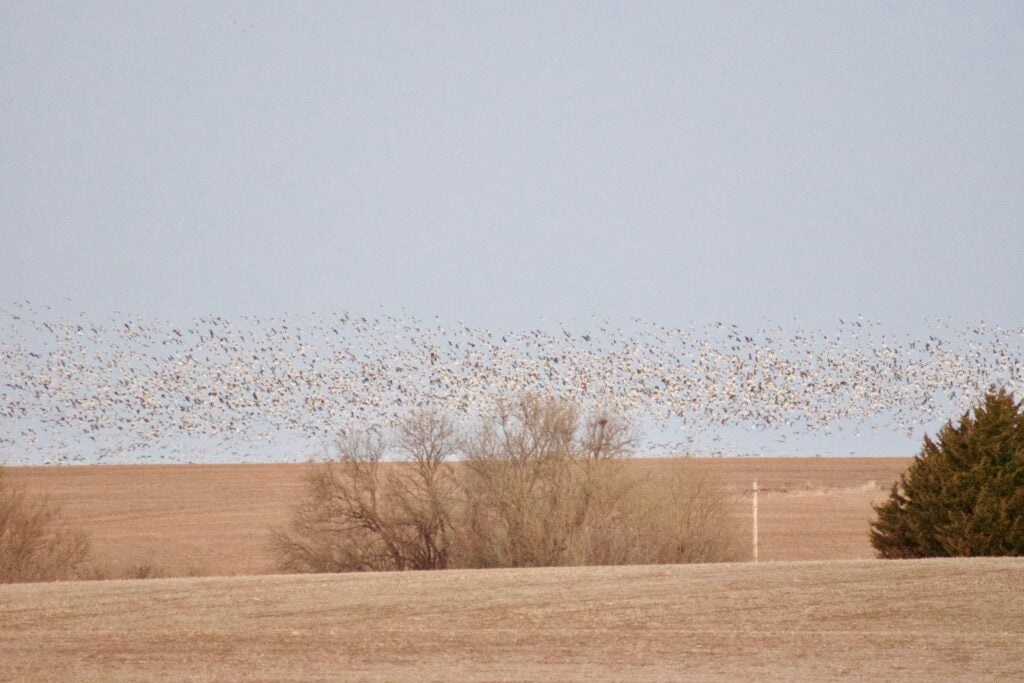 The roost erupts somewhere in Kansas.