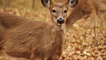 Zombie deer disease is inaccurate for describing CWD.