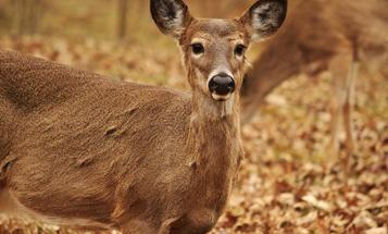 Dear Mainstream Media: Please Stop Calling Chronic Wasting Disease the 'Zombie Deer Disease'