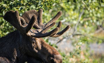 A Camper Shot and Killed a Charging Bull Moose in the Idaho Backcountry