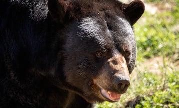 California Bear Breaks Into Home, Attacks Owner