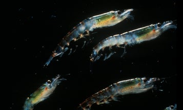 The Largest Migration on Earth Happens in the Ocean, Every Single Night