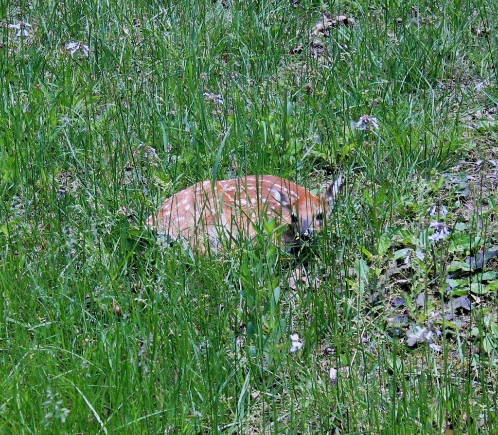 Fawn recruitment is being affected by the growth of other predator species.
