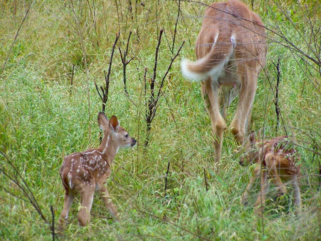 Fawns are faced with more survival challenges than ever.