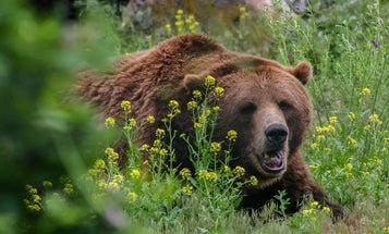 Camper Dies in Montana's Second Fatal Bear Attack of 2021