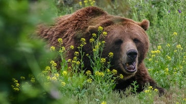 Montana Camper Dies in Bear Attack
