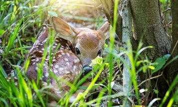 Whitetail Fawn Recruitment Is Declining at an Alarming Rate, and No One's Quite Sure Why