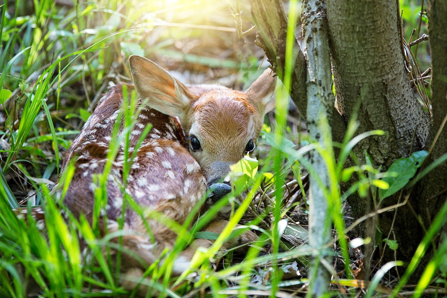 Fawn recruitment is faltering.