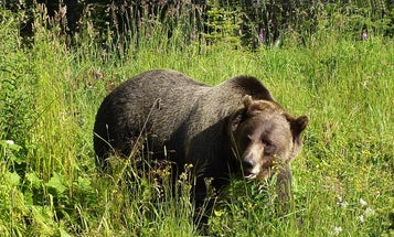More Details Surface About Fatal Grizzly Attack in Montana
