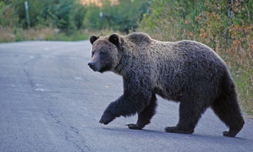 Fatal Grizzly Attack in Montana Stirs Calls for Bear Control