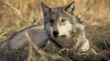Gray wolves are a favorite target species of anti-hunting arguments.