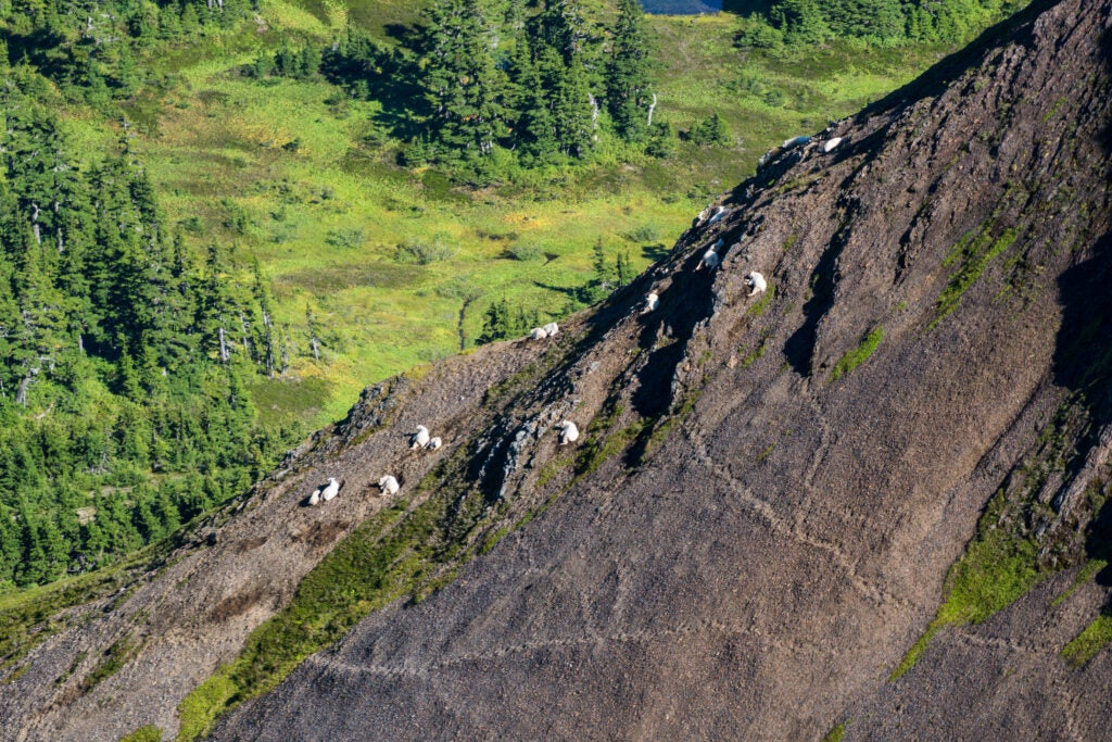 A herd of mountain goats, resting on a rock mountainside.