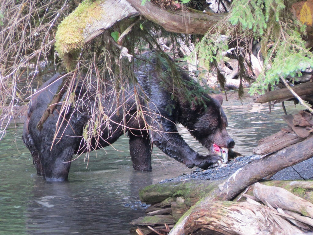 A brown bear in the Tongass.
