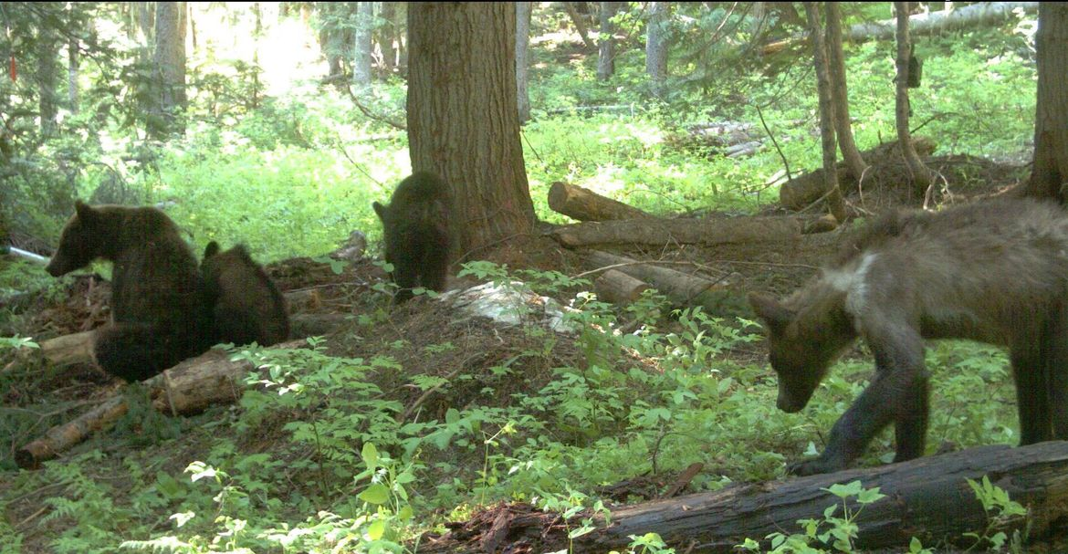 A Washington grizzly bear has been captured, collared, and released.