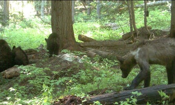 Officials Capture and Collar First Sow Grizzly for Study in Washington State