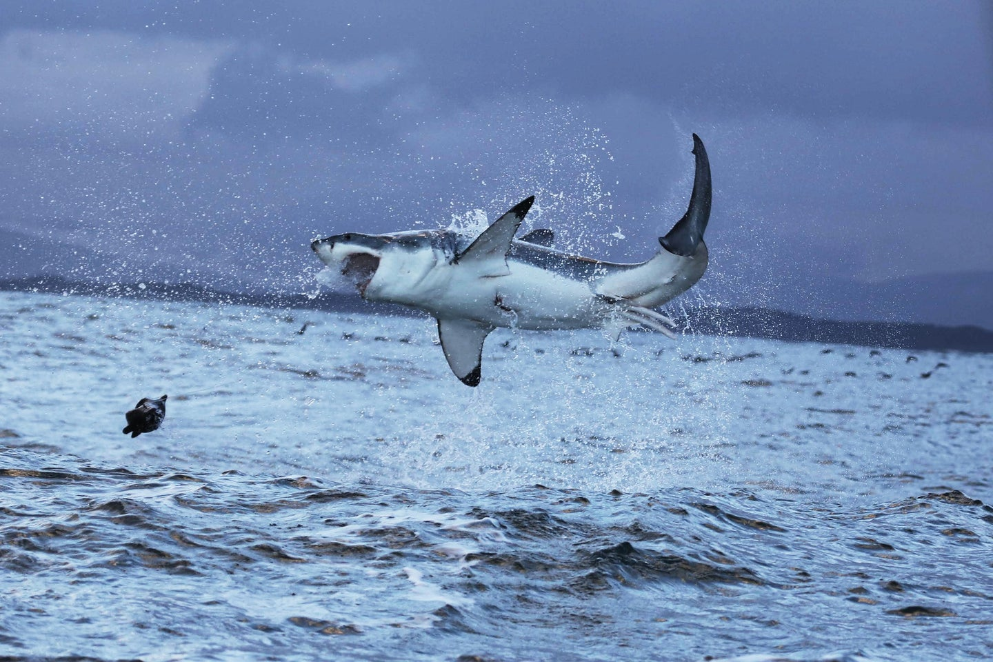 Shark attacks are not what they seem.