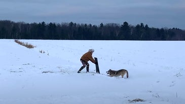 Wisconsin trapper releases a gray wolf.