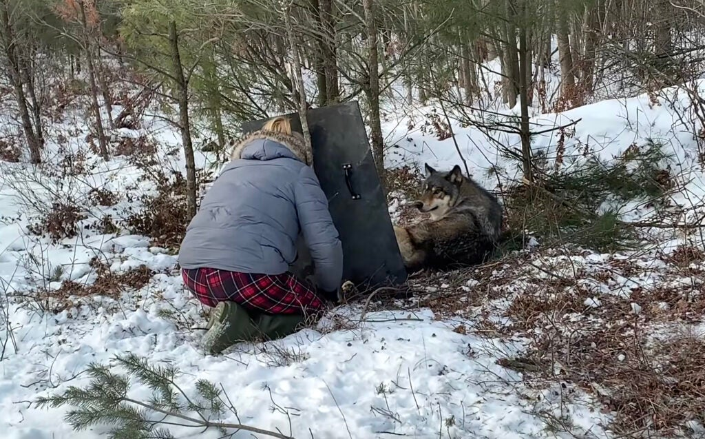 Wisconsin trapper releases wolf with a shield.