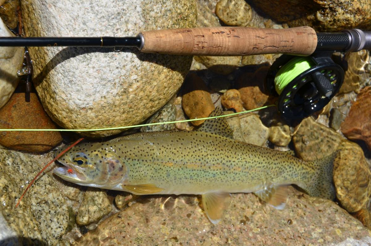 Western trout are susceptible to high temps and low water levels.