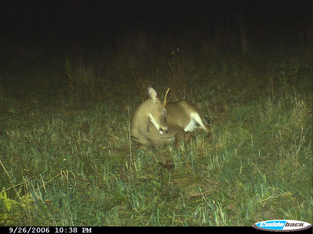 Deer bedded in front of trail camera