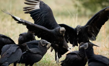 Black Vultures Are Killing Cattle, So States Are Securing Permits to Kill Nuisance Birds