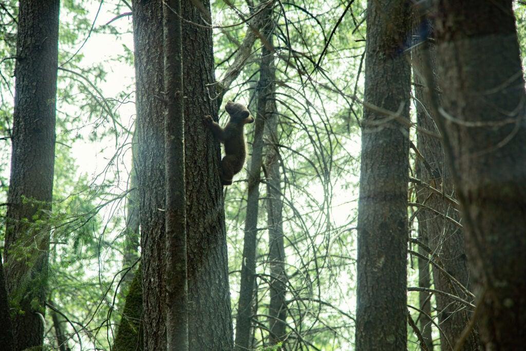 A young California black bear.