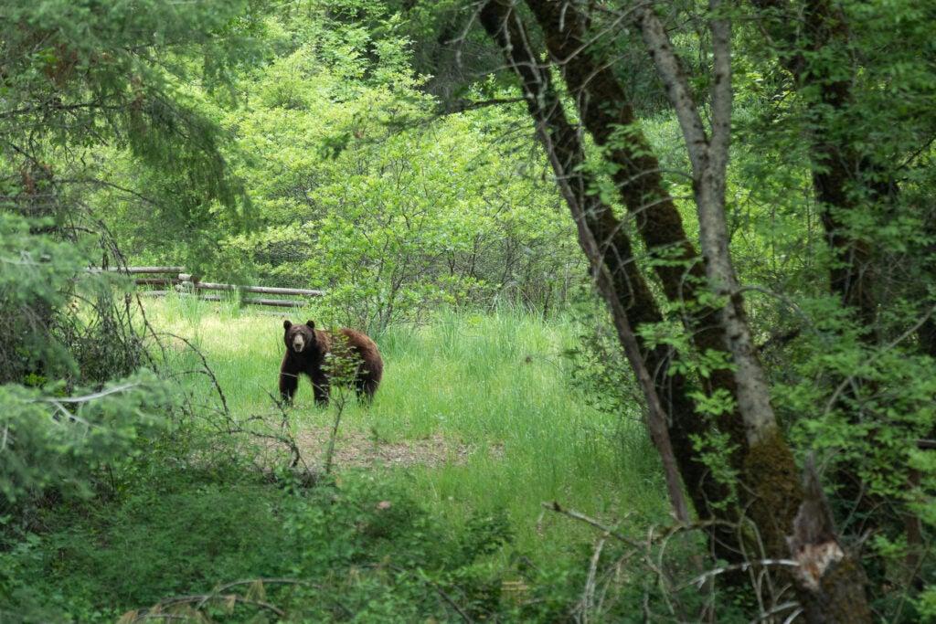 A color-phase black bear.