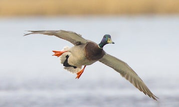Duck Hunters Should Expect to See Older and Fewer Ducks This Fall