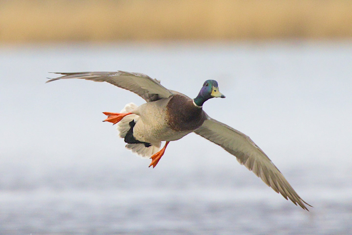 There will be fewer ducks in the fall flight this year.