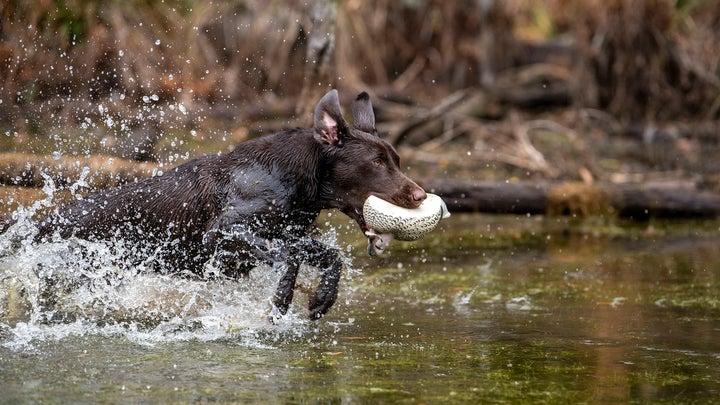 Retriever fetching a duck.