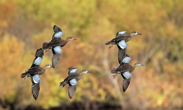 How to Kill a Limit of Teal This September Without a Single Floating Decoy