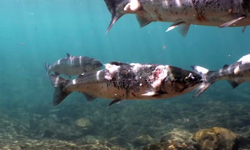 Columbia River Salmon Reverse Migration Because the Water Is Too Hot