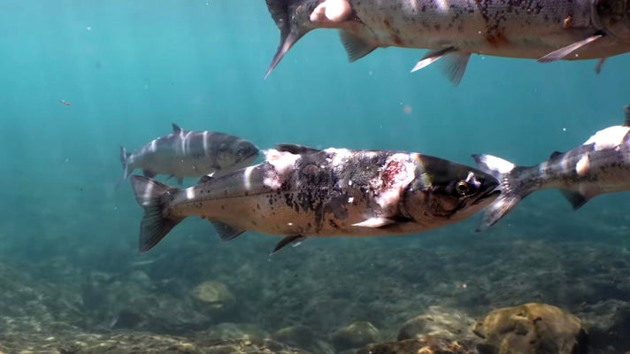 Columbia River salmon are stressed by heat, causing lesions and fungus.