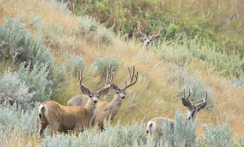 Big Game Likely to Suffer from Western Drought, High Hunter Harvest Could Help