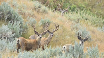 Western drought is affecting mule deer in Montana and elsewhere.