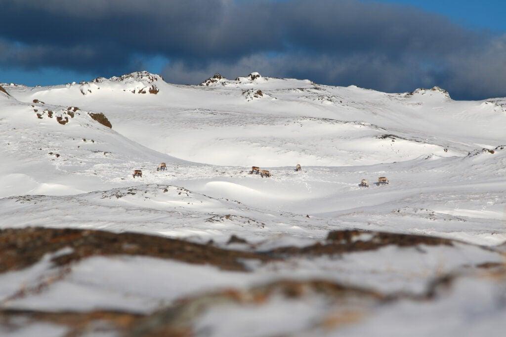 Caribou herd on Adak Island.