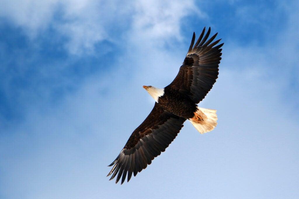 Bald eagle soaring over Adak Island
