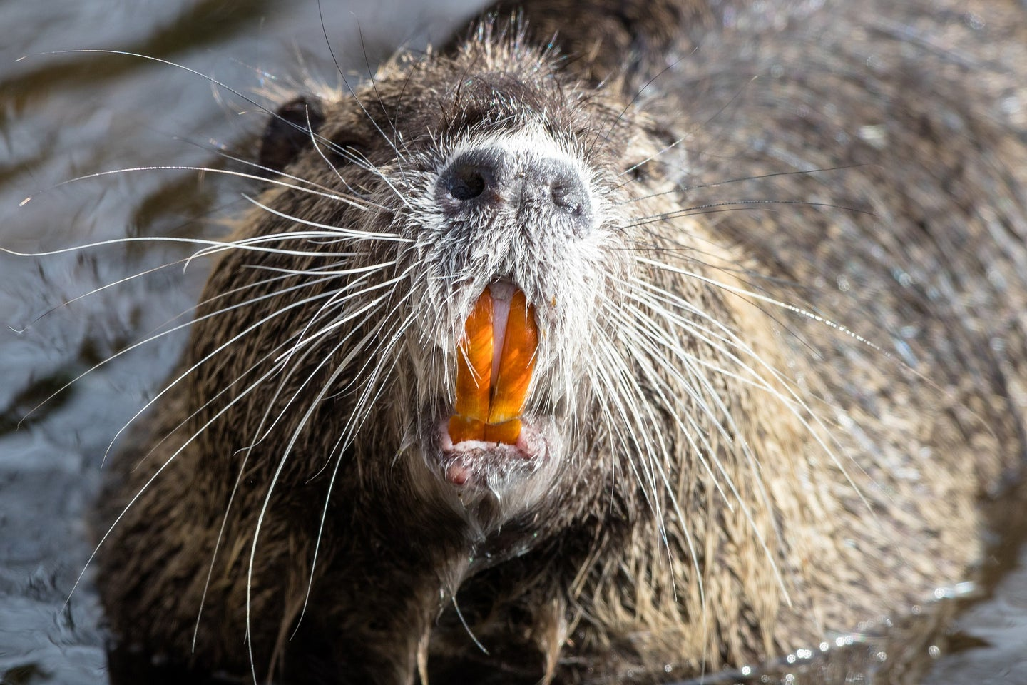 Nutria is an invasive animal that can be turned into dog treats.