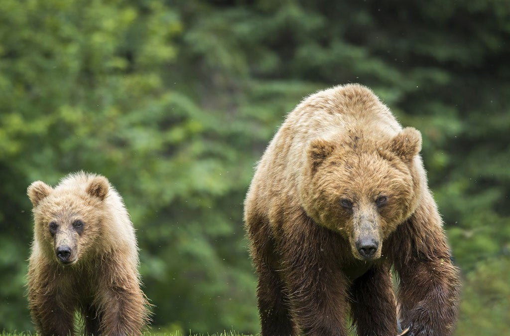 grizzly bear with a cub