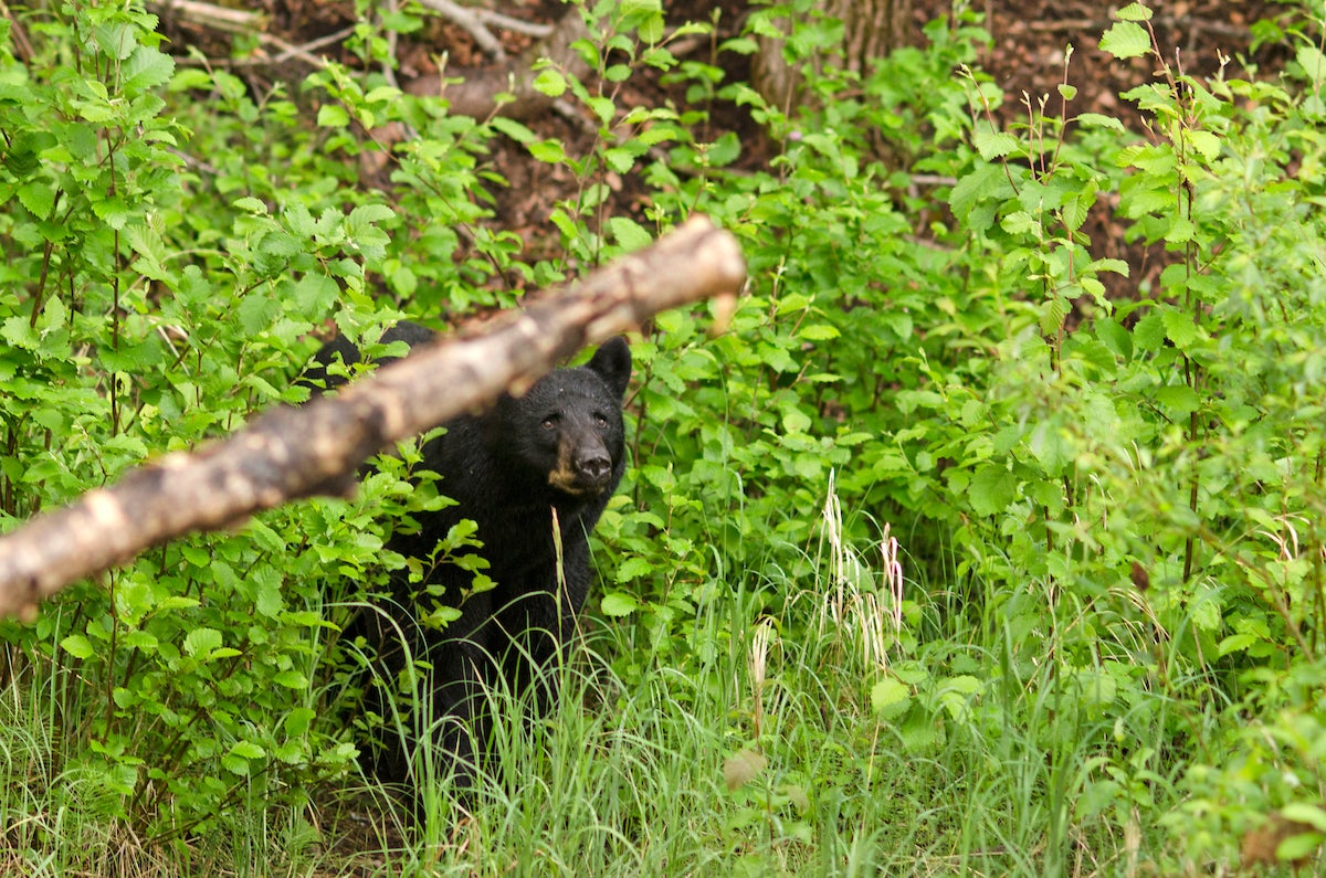 black bear in the woods.