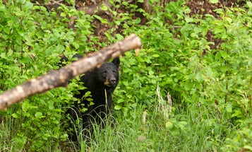 Black Bear That Killed Alberta Woman Is Trapped, Euthanized