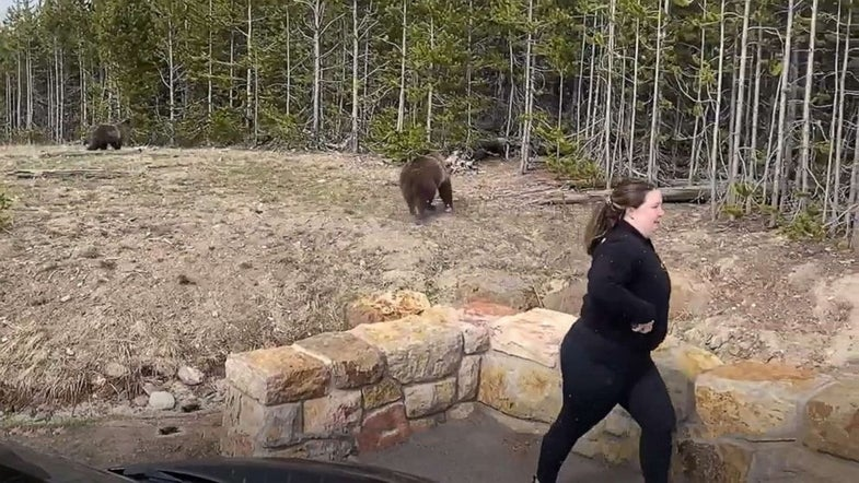 A woman hurries away from a Yellowstone grizzly after approaching it this spring.