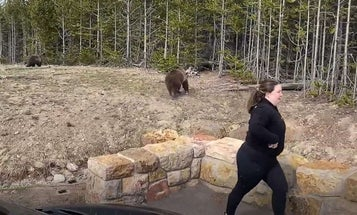 Possible Year in Jail, $10,000 Fine for Tourist Who Got Too Close to a Grizzly In Yellowstone
