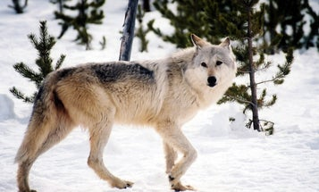 Great Lakes States Are Divided on Wolf Hunting Plans