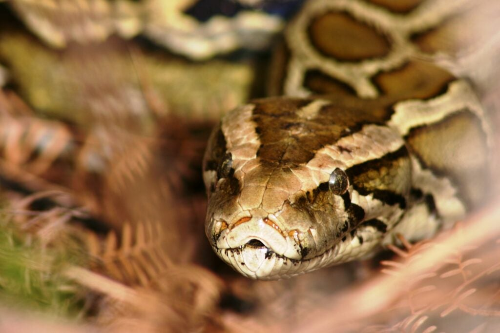 Burmese pythons are removed in the annual Florida Python Challenge.